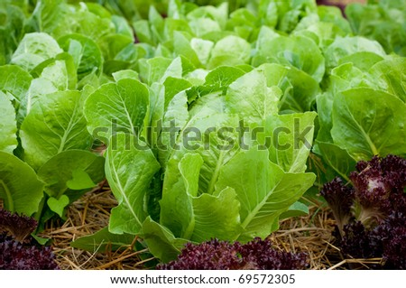 Growing lettuce in rows in the vegetable garden - stock photo