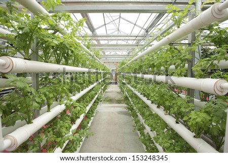 Growing lettuce in the hydroponic greenhouse  - stock photo