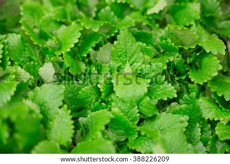 Growing mint leaves. Mint leaves background. - stock photo