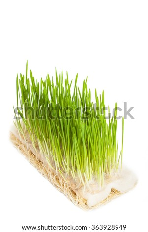 Growing oats with roots - stock photo
