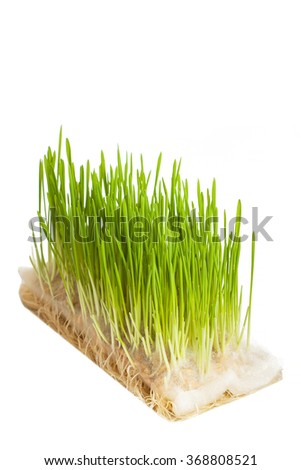 Growing oats with roots isolated on the white background - stock photo