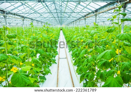 growing of cucumber in greenhouse - stock photo