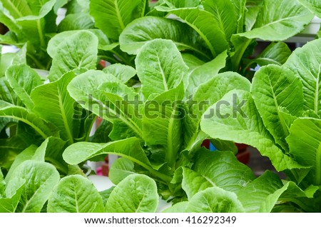Growing organic vegetables.Organic vegetable farms for Background.  - stock photo