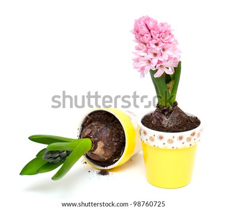 growing pink hyacinth isolated on white - stock photo