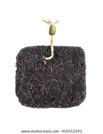 Growing plant (Young bean )with underground root visible - stock photo