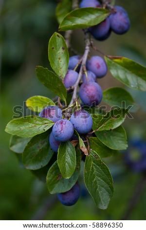 Growing plums - stock photo