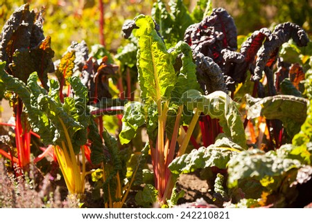 Growing rainbow chard. - stock photo