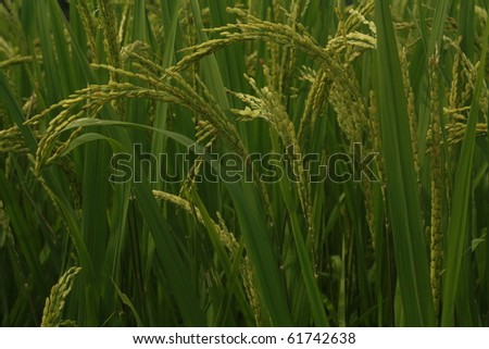 Growing rice - stock photo