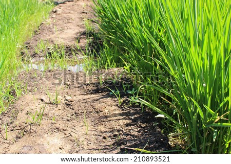 Growing rice during water shortage - stock photo