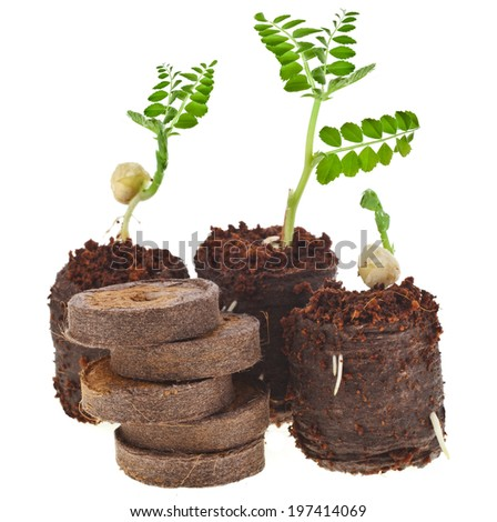 Growing seedlings in peat compressed tablet  isolated on white background - stock photo