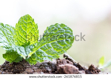 growing tamarind green sprout - stock photo