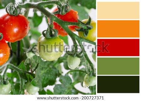 Growing tomatoes closeup  with complimentary swatches. - stock photo