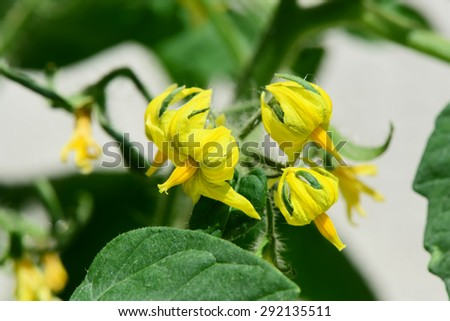 Growing tomatoes.Flowers on tomato plants - stock photo