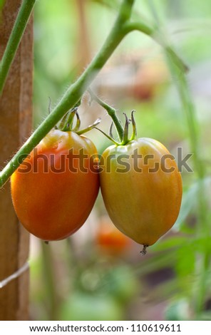 growing tomatoes in greenhouse - stock photo
