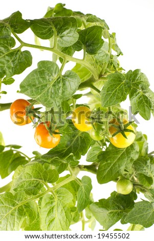 Growing tomatoes isolated over white - stock photo