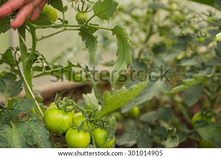 Growing tomatoes. Tomatoes grow in the garden. - stock photo