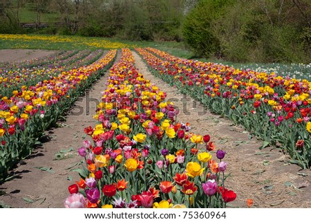 growing tulips of different colors and shapes
