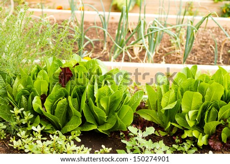 Growing vegetables in organic vegetable garden. - stock photo