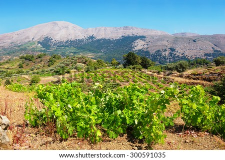 Growing vines in the vineyard. Rhodes, Dodecanese islands, Greece (Background out of focus) - stock photo