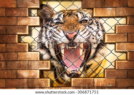 Growl siberian tiger internal the cage in concept of resist detain and torture the wildlife - stock photo