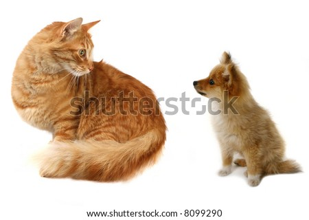 Grown Cat Looking at Tiny Pomeranian Puppy Wondering What to Do - stock photo