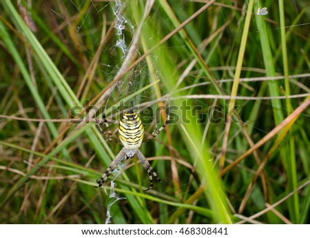 grown up female wasp spider (in late summer)