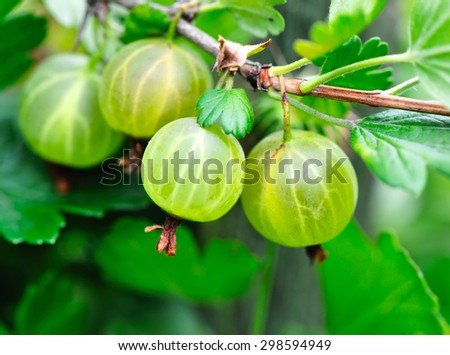Grows ripe gooseberries on a branch - stock photo