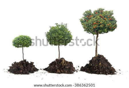 Growth of citrus trees - stock photo