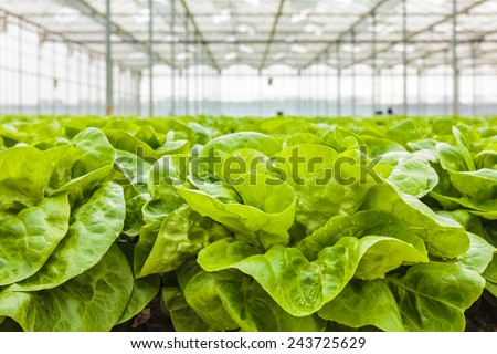 Growth of lettuce inside a greenhouse in The Netherlands - stock photo