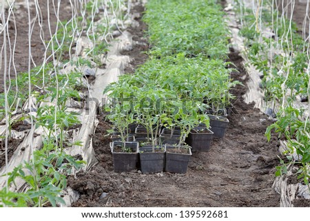 Growth of tomato plant seedlings in a greenhouse, early spring - stock photo