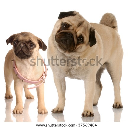 growth - pug standing beside puppy with collar that is too big - stock photo