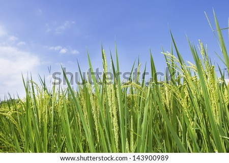 growth rice farm close up low angle with blue sky - stock photo