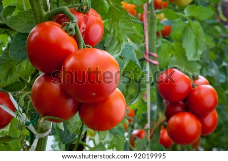 growth ripe tomato in greenhouse - stock photo