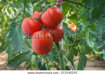 Growth tomato in greenhouse - stock photo