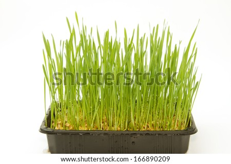 Growth wheat