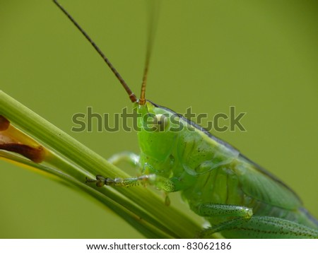 Grub of a short-winged conehead - stock photo