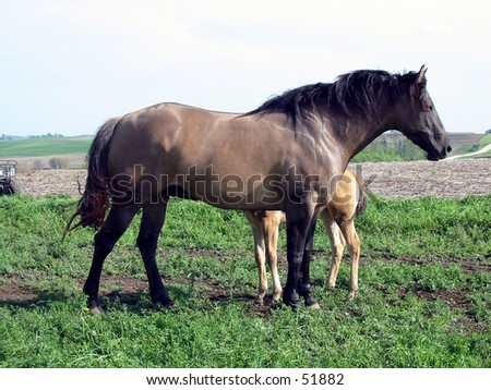 Grulla Quarter Horse Mare letting her foal nurse