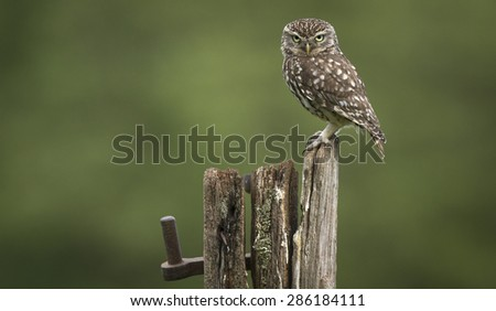 Grumpy! A male little owl looking a bit grumpy! - stock photo