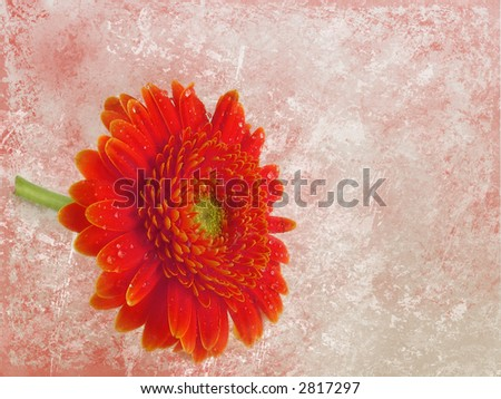 Grunge floral background - red gerber - stock photo