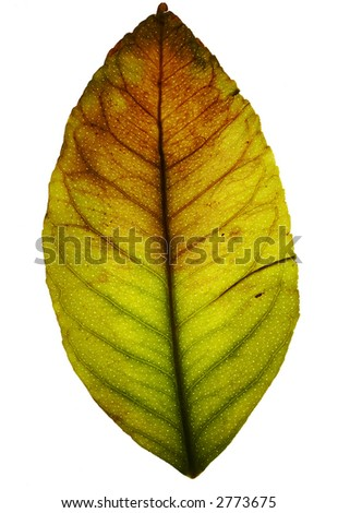 Grunge stained multicolored leaf, isolated on white. Vibrant color & beauty texture