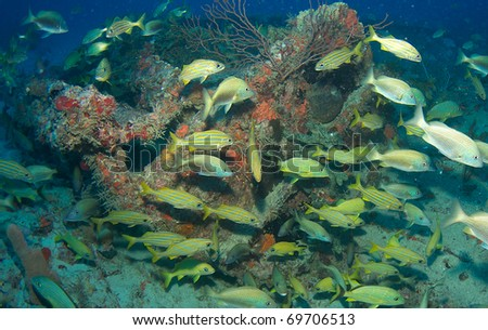 Grunt aggregation on an artificial reef in south east Florida. - stock photo