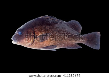 Grunts, Gibbus Sweetlips, Gibbous Thicklip, Blubberlips, Blubber-lip Bream, Brown Sweetlips, Dusky Sweetlips and Harry Hotlips/saltwater fish isolated on black background  - stock photo