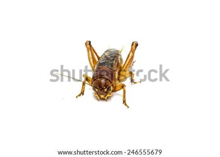 Gryllidae on a white background. - stock photo