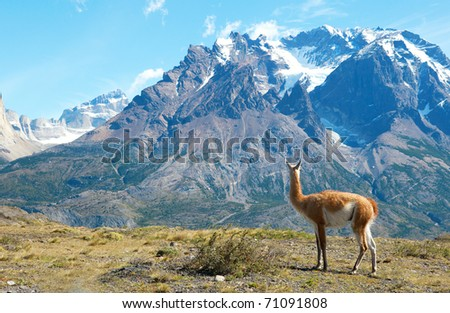 Guanaco in Torres del Paine national park admiring the mountains - stock photo