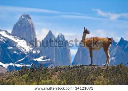Guanaco (Lama Guanicoe) admiring the Andes.  Torres del Paine National Park, Patagonia, Chile. - stock photo