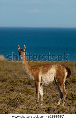Guanaco (Lama Guanicoe) in Patagonia - stock photo