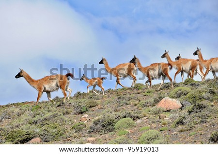 Guanacoes (Lama guanicoe) in Patagonia, Torres del Paine. The name guanaco comes from the South American language Quechua word wanaku (old spelling, huanaco). Young guanacos are called chulengo(s). - stock photo