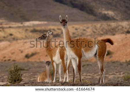 Guanacos (Lama Guanicoe) in Patagonia - stock photo