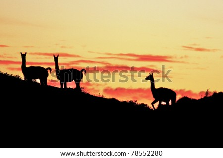 Guanacos sunset patagonia - stock photo