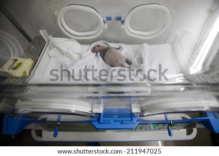 GUANGZHOU, CHINA - AUGUST 12. 2014.:A newborn giant panda cub, one of the triplets which were born to giant panda Juxiao (not pictured), is seen inside an incubator at the Chimelong Safari Park.  - stock photo